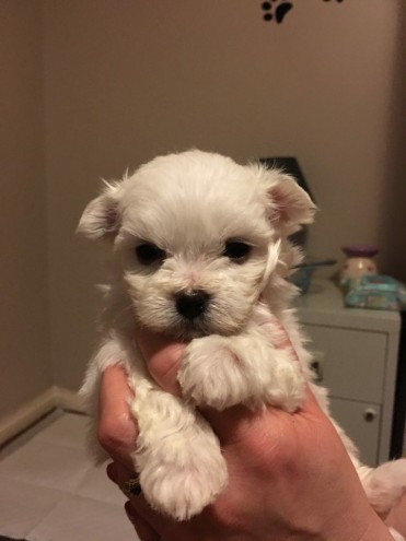 2-male-maltese-terrier-puppies-for-sale-568a9a4844438