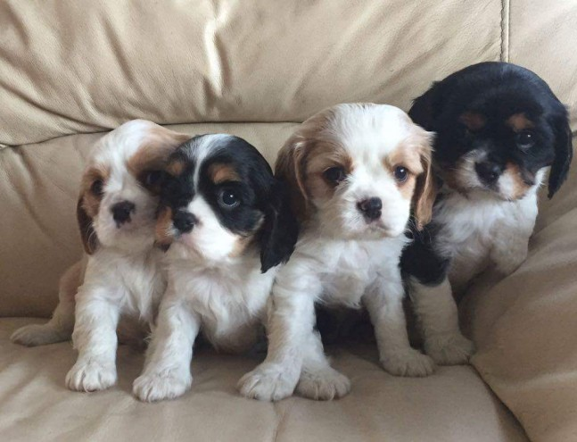 cavalier-king-charles-puppies-565032f321250