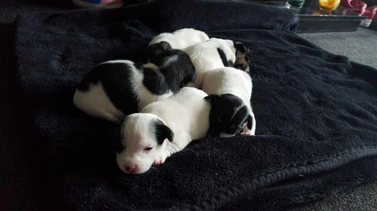 jack-russell-puppies-for-sale-56c9abd5eea4e